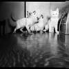 Prize cat show (Long Beach), 1952