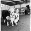 Prize Hereford at Pomona Fair, 1951