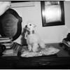 """Snowball"" Marion Davies dog, 1951"