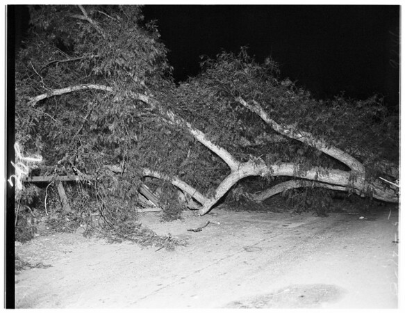 Tree down (Dawson St. and Temple), 1951