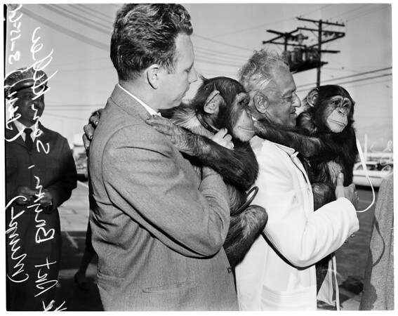 Chimpanzees, 1961