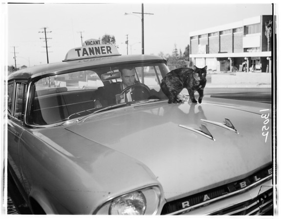 Cat on top of hood of taxi in Altadena, 1961