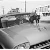 Cat on top of hood of taxi in Altadena, 1961