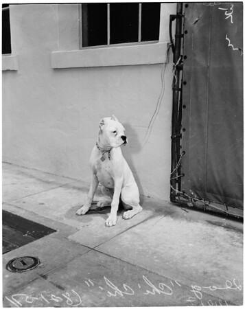 Dog belonging to suspect Harry Schwartz, 1957
