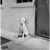 Dog belonging to suspect Harry Schwartz, 1957