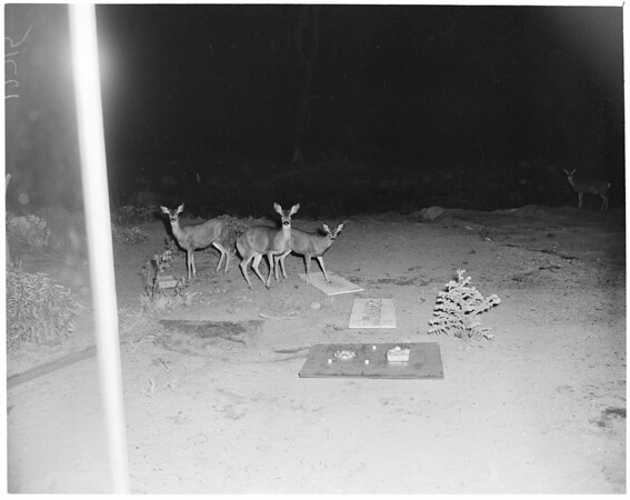 Wild animal feeding feature in Kernville, 1960