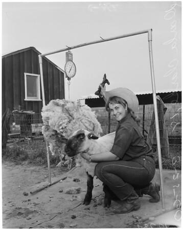 Sheep shearing, 1960