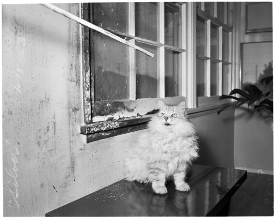 Heroic cat (saves family from fire), 1953