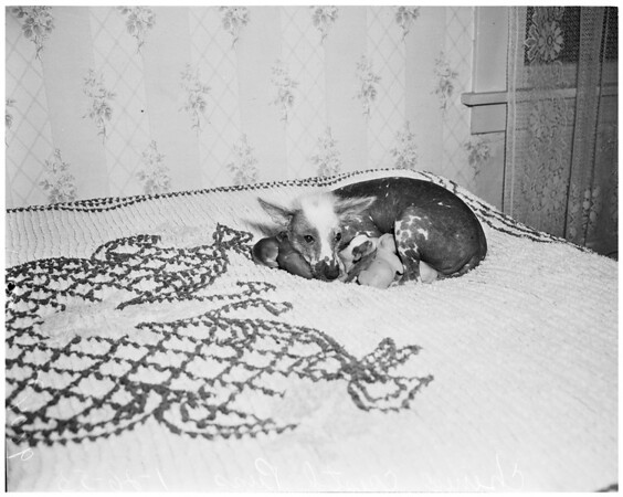 Chinese crested pups, 1953