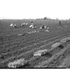 Vegetable industry (Southern California) -- Stanley Dunn feature (ran in PCC, 1953-04-20), 1953