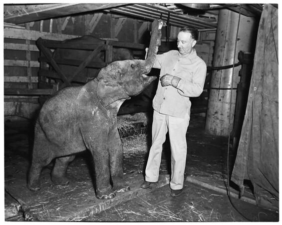 Baby elephant, 1953