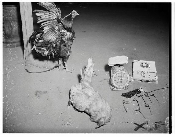 Cock fight, San Dimas, 1951
