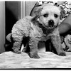 Crippled Puppy, 1951
