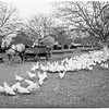 Poultry round up (Richardson Hatchery in San Gabriel), 1948