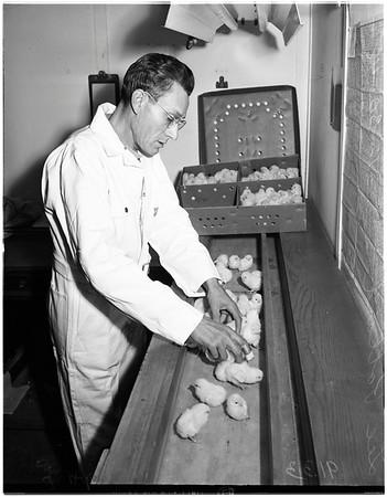 Poultry round up (Richardson Hatchery in San Gabriel), 1948