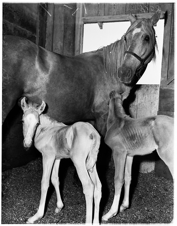 Twin horses, 1951