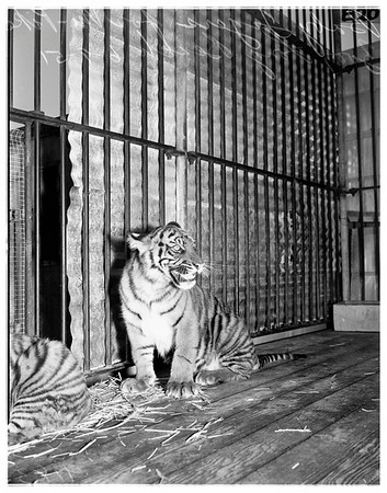 Baby tigers for Nu-Pike Zoo -- Long Beach, 1951
