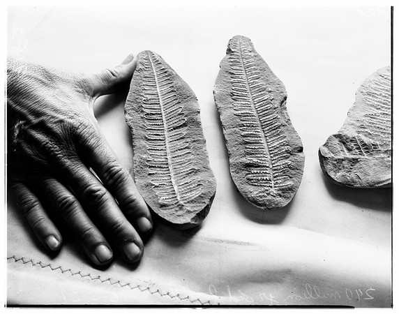 Fossils -- 240 million years old, presented to Occidetal College, 1951