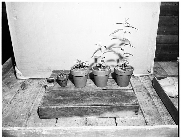 New Luther Burbank ...horticulturist, with specimens of plants: flowers, trees, etc., 1951