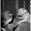 Hawk ... Pasadena, 1951