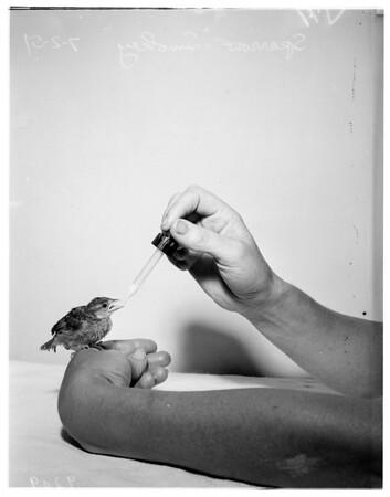 Pet sparrow, 1951