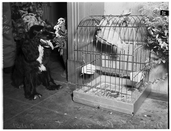 Cocker and Parrot, 1951