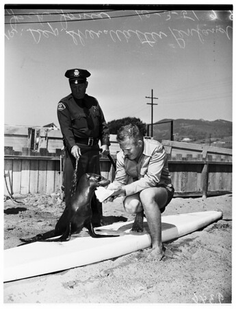 Injured seal, 1951.