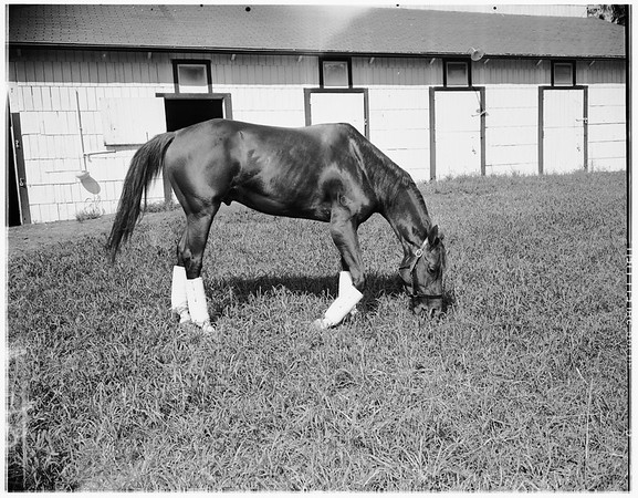 """Horse """"Your Host"""", 1951"""