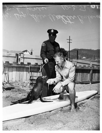 Injured seal, 1951.