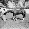 "Horse ""Your Host"", 1951"