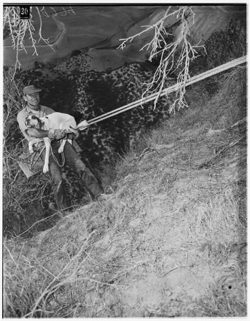 Dog rescued from cliff in Hasley Canyon, 1951