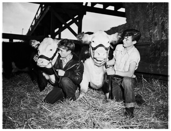 Livestock Show...East Union Stockyard...4H Clubs, 1951
