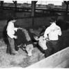 Livestock show, 1951