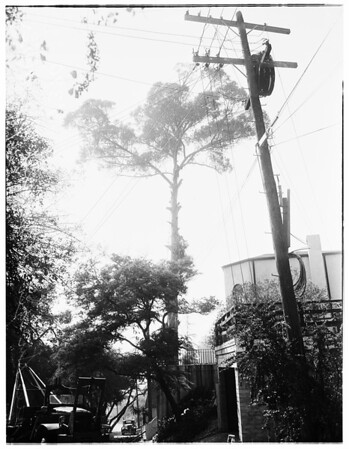 Trees ...world's largest eucalyptus about to be cut down, 1951