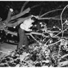 Tree falls on auto (11414 Burnham Avenue), 1951