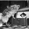 Glendale Kennel Club Show, 1951