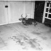 Deer hit by car, 1951