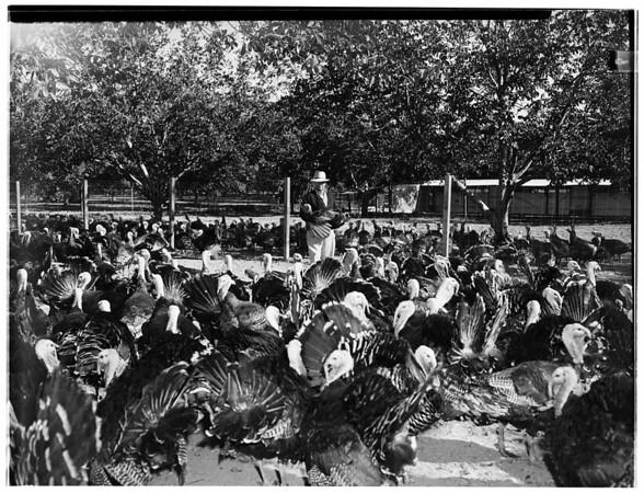 Thanksgiving pictures... Fred Huntsinger Turkey Farm... Northridge, California, 1951