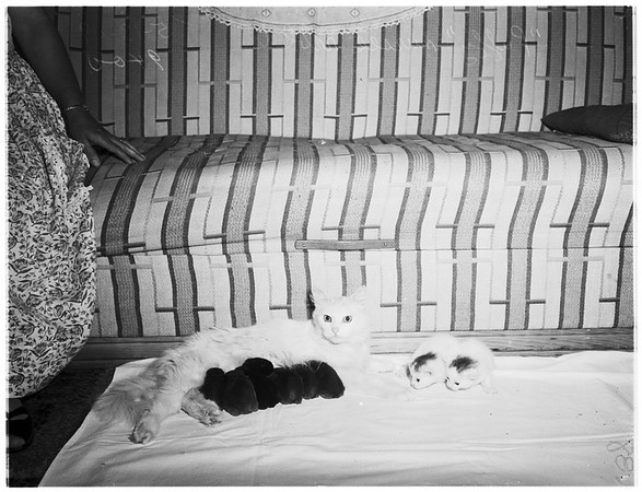Cat nurses rabbits and kittens...Rabbits nurse only at night and kittens during the day, 1949