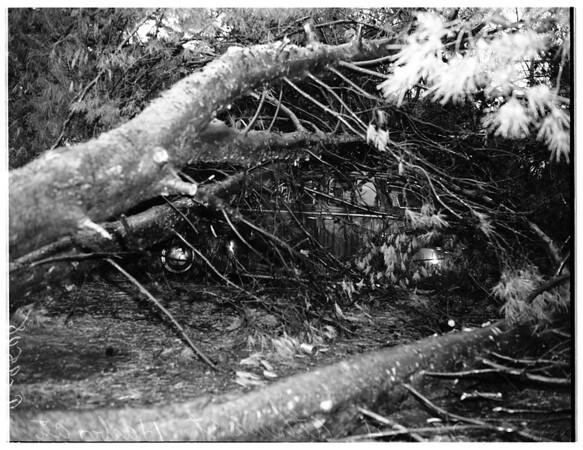 Tree falls on auto (Harbor City), 1952