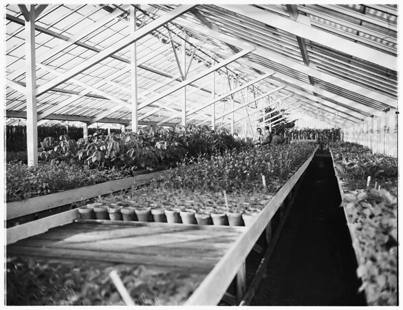 "Horticulture n""Luther Burbank"" ...Herbert Swim, (not in picture) ...views of greenhouse and field laboratory, 1951"