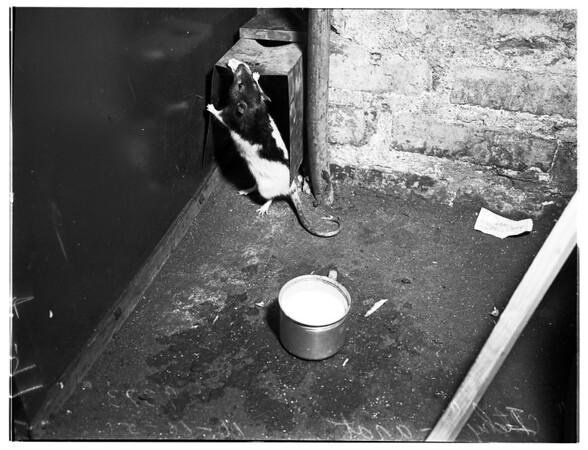 Rat feature, 1951