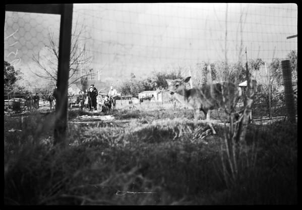 Amateur negatives (deer in back yard) Sun Valley, 1952