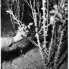 How to prune a rose bush, 1952