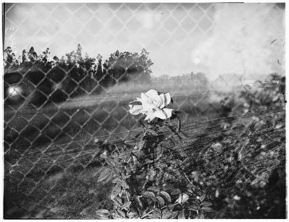 """Horticulture n""""Luther Burbank"""" ...Herbert Swim, (not in picture) ...views of greenhouse and field laboratory, 1951"""