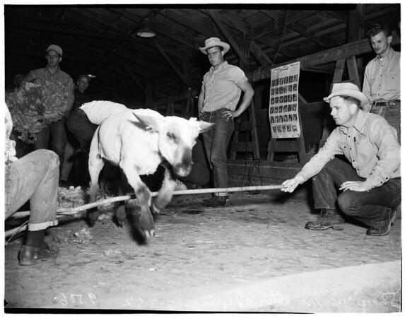 Sheep shearing at Agricultural College, Canoga Park, 1952