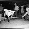 Sheep shearing at Agricultural College, Canoga Park, 1952