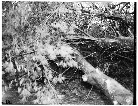 Tree falls on auto (Harbor City), 1952