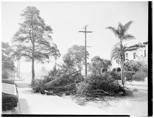 Tree blown down at 1530 North Wilton Place, 1951