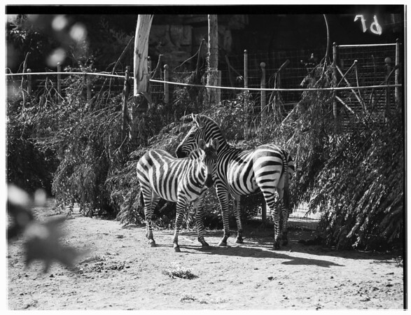 New Giant Zebras at Griffith Park Zoo ...Acquired from Hearst Ranch at San Simeon, 1951